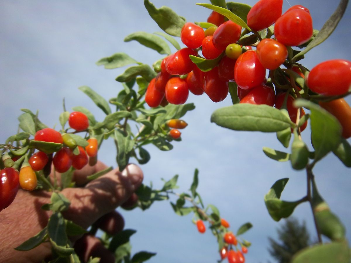 The Secret Components of Goji Berries